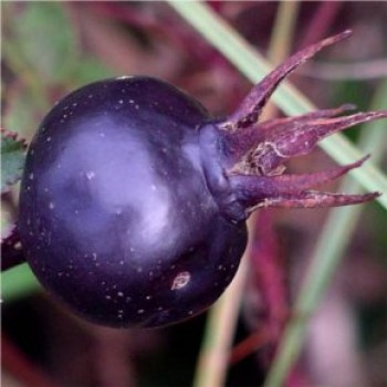 Jajrózsa termés