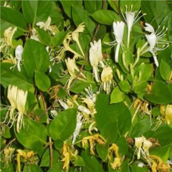 Örökzöld japán futólonc - Lonicera japonica Halliana