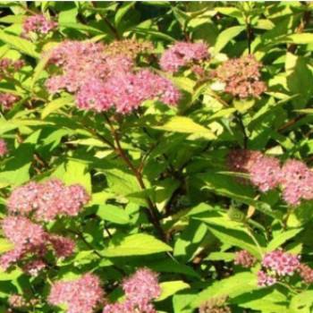 Japán gyöngyvessző - Spiraea x bumalda