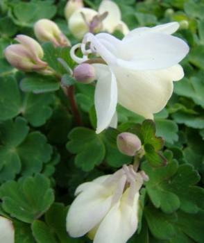 Japán harangvirág fehér Aquilegia flabellata Cameo White