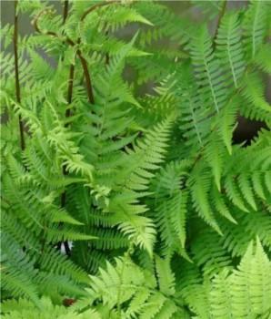 Páfrányok Japán hölgypáfrány - Athyrium vidalii