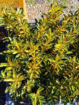 Japán kecskerágó Euonymus japonicus Aureopictus