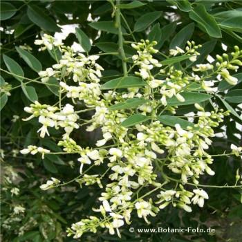 Japánakác Sophora japonica 80-100 cm cserepes - Forrás: © www.Botanic-Foto.de