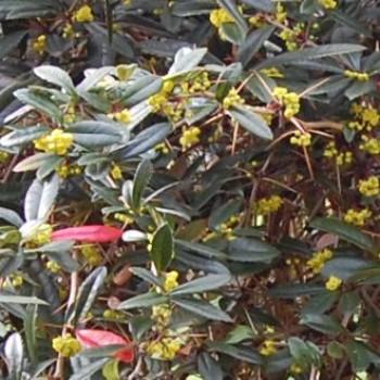 Júlia borbolya levelek és virágok