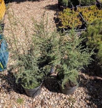 Ír oszlopos boróka -40-60 cm növények
