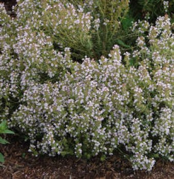 Kerti kakukkfű Thymus vulgaris cserepes fűszernövény