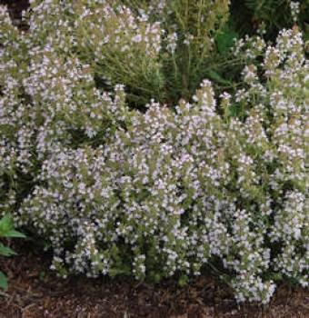 Fűszernövények Kakukkfű - Thymus vulgaris