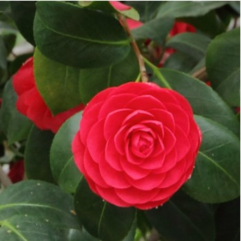 Kamélia - Camellia japonica Lady Campbell