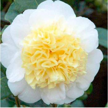 Kamélia - Camellia japonica Brushfields Yellow