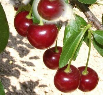 Kántorjánosi meggyfa - Meggy oltványok - Gyümölcsfa
