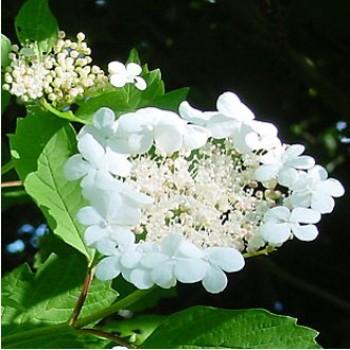 Kányabangita - Viburnum opulus