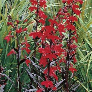 Tavi növények Kardinális virág, Bíboros lobélia