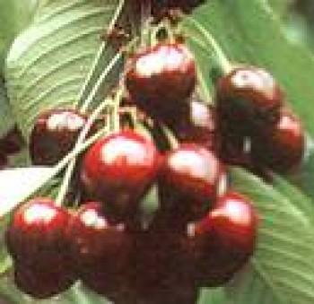 Katalin cseresznye gyümölcsfa