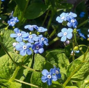 Kaukázusi nefelejcs Brunnera macrophylla