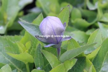 Léggömbvirág bimbó - Platycodon Astra Blue