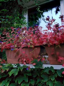 Kékgyökér - Ceratostigma talajtakaró őszi évelő virágok