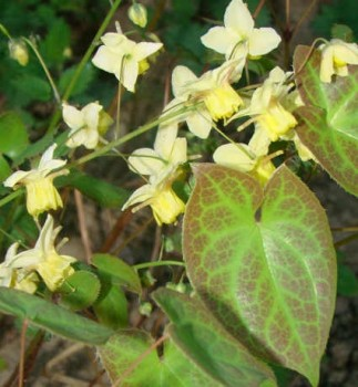 Kénsárga tündérvirág Epimedium x versicolor Sulphureum