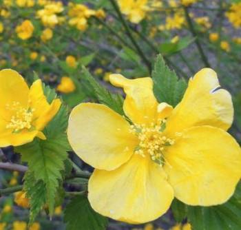 Boglárkacserje szimpla virágú Kerria japonica edényes virágos cserje