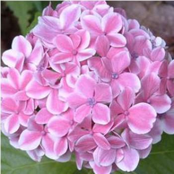 Kerti hortenzia rózsaszín virágú - Hydrangea macrophylla Peppermint