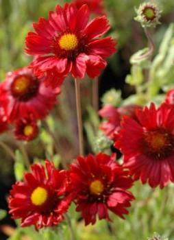 Kerti kokárdavirág Gaillardia Burgunder