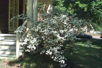 Kerti gyöngyvessző virágzó bokor - Spirea vanhouttei - Forrás: www.hort.uconn.edu