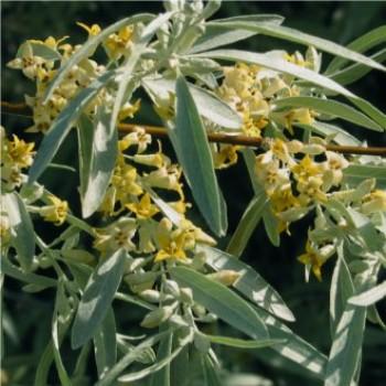 Keskenylevelű ezüstfa, Olajfűz - Elaegnus angustifolia - Sövény