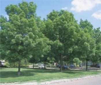 Keskenylevelű kőris - Fraxinus angustifolia