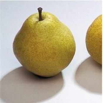 Kieffer körtefa oltvány - Történelmi körte fajta - Gyümölcsfa