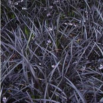 Díszfüvek Feketelombú kígyószakáll - Ophiopogon planiscapus Niger