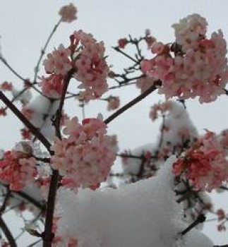 Kikeleti bangita - Viburnum bodnatense