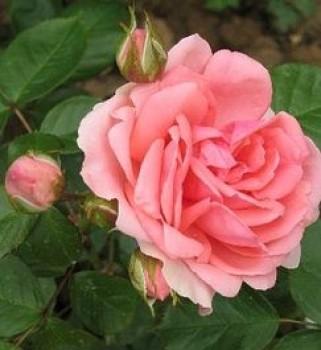 Rózsaszín virágú parkrózsa Rosa Kimono - Konténeres rózsa