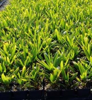 Örökzöld növények Kínai kenderpálma - Trachycarpus fortunei