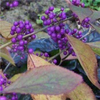 Kínai lilabogyó színes bogyói - Callicarpa