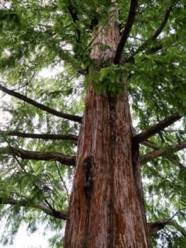 Kínai mamutfenyő, Szecsuáni ősfenyő, Metasequoia glyptostroboides Foto: smallcurio, Flickr