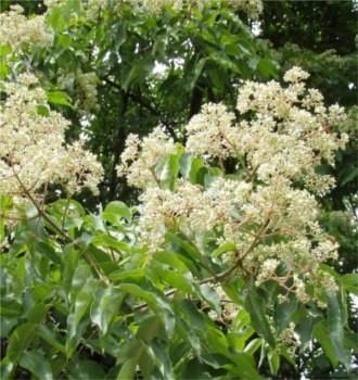 Kínai mézesfa - Euodia hupehensis - Fa, Díszfa