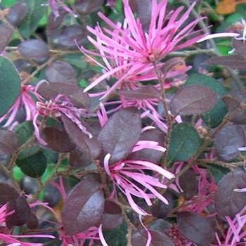 Loropetalum daybreaks flame - Dézsás növény