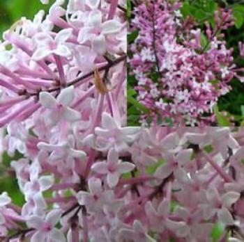 Törpe orgona virág - Syringa meyeri Palibin