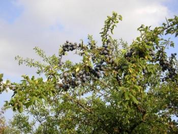 Kökény bokor ága termésekkel. Forrás: http://www.naturamediterraneo.com/forum/topic.asp?TOPIC_ID=22741