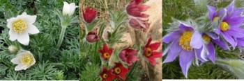 Sziklakerti évelők Kökörcsin kollekció - 6 db cserepes kökörcsin 3 féle virágszínben