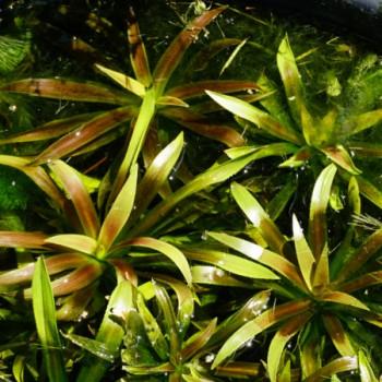 Kolokán Stratoides aloides vízen úszó növény