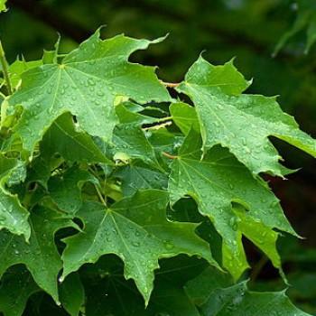Korai juhar - Acer platanoides