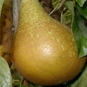 Conference körtefa gyümölcs