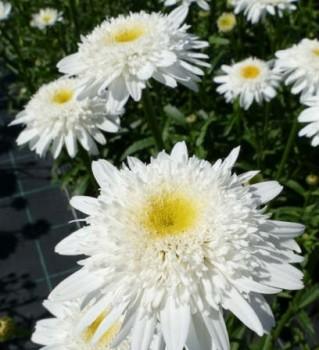 Margaréta Leucanthemum x superbum Stina