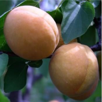 Ligeti óriás kajszibarack oltvány - Kajszi fajták - Gyümölcsfa