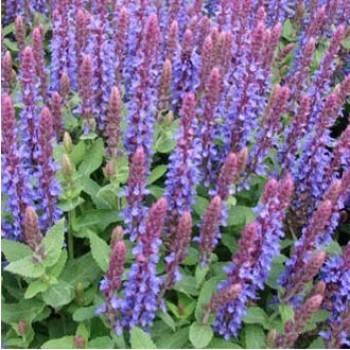 Ligeti zsálya kék virágú - Salvia sensation Sky Blue
