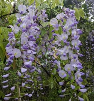 Lilaakác virágok - Wisteria sinensis