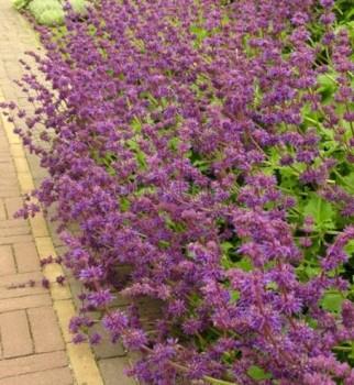 Lózsálya Salvia verticillata Purple Rain