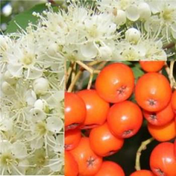 Fák, Díszfák Madárberkenye - Sorbus aucuparia