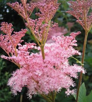 Magas legyezőfű virág - Filipendula rubra Venusta