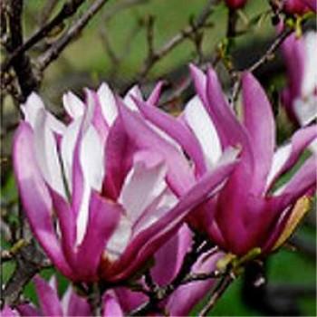 Vöröses lila virágú liliomfa - Magnolia liliflora Nigra